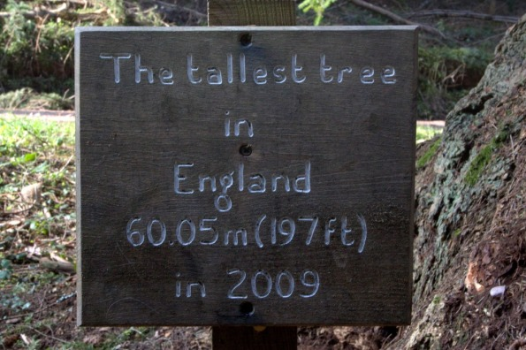 Tallest_tree2