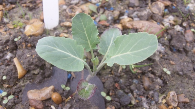 One of the young brassica plants